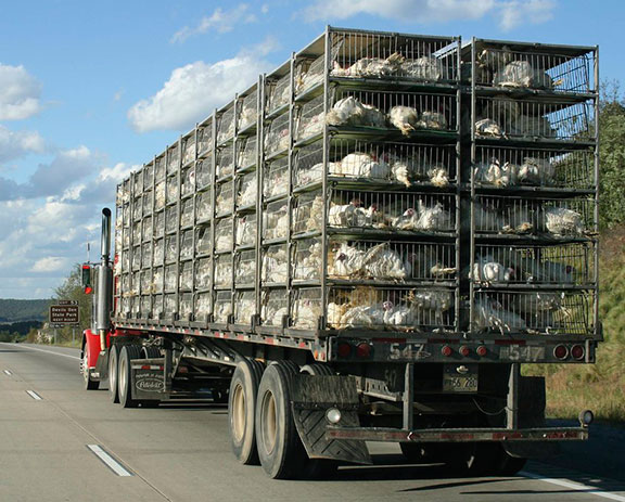 poultry transportation